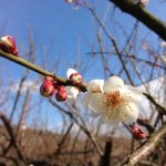 梅の咲く季節とクラスの子どもたちの成長