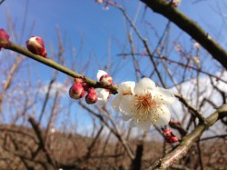 寒空に咲き始めた梅