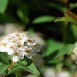 庭に咲く小手毬に感謝するゴールデンウィーク