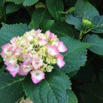 紫陽花の季節がやって来た!