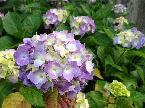 紫陽花も雨を待っている