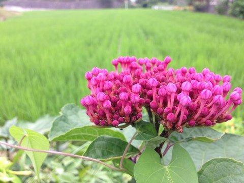 田んぼの緑とピンクのコントラスト