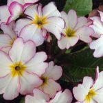 花が好きなのは、「山の民」の証だろうか。