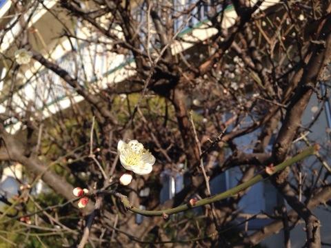 梅が咲き始めたね