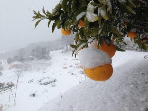 みかんに雪は珍しいのです