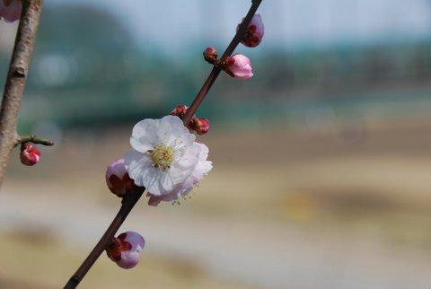 いよいよ桜の季節