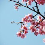 一気に春がやって来そうな予感【河津桜】