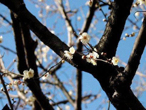梅がまだまだ咲いてるね
