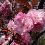 八重桜が綺麗です。
