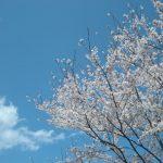 桜は満開!全力でいこう!