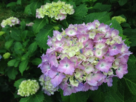 紫陽花の季節だ!
