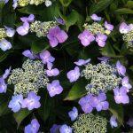 どうして紫陽花が好きなんだろう?