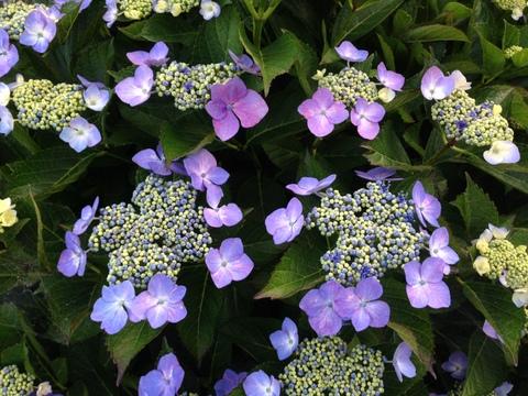 紫陽花はいいね