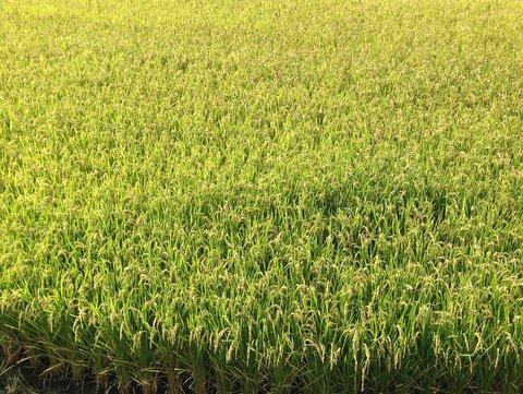 稲刈りの季節、子どもたちの成長も進む。