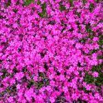 伊勢原で芝桜の魅力を知る