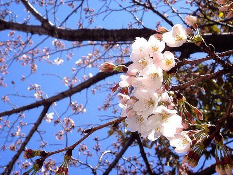 桜が咲いたよ!