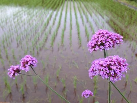 田んぼ脇の小さな花から学ぶ