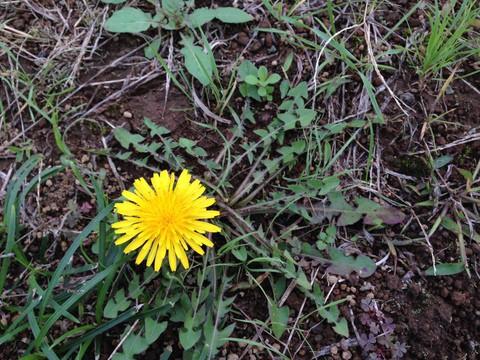 季節に負けずに咲くタンポポ