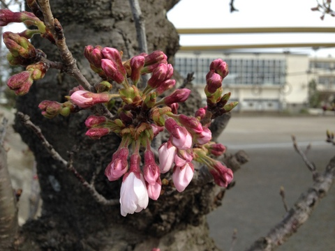 もうすぐ桜が満開に