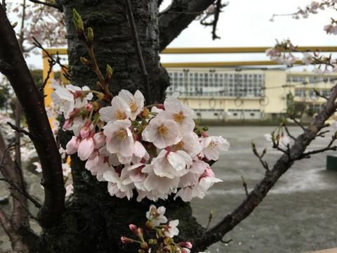 桜定点観測