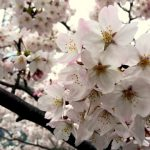桜は満開、準備OK!