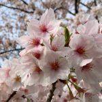 桜定点観測2016