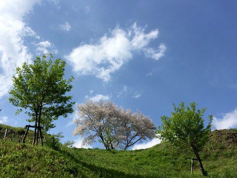 小高い丘の上に咲く桜
