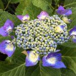 紫陽花の季節がやって来た