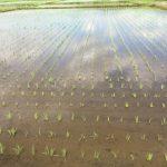 ずっと田植え体験できるかな?