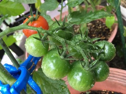 ミニトマト栽培と子育ての関係