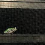 我が家の住人カエルくん