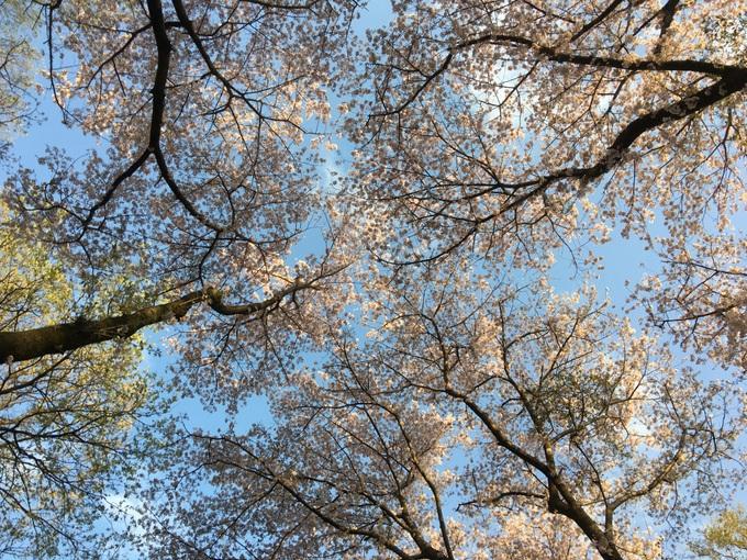 空を見上げれば満開の桜
