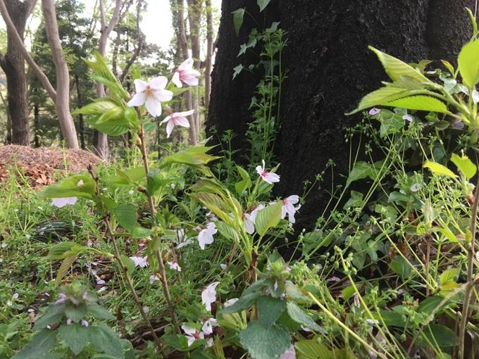 朝ランで出会う桜から学ぶこと