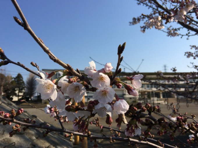 2017年の桜は遅めだね。