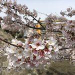 桜満開!外は雨に観る子どもたち