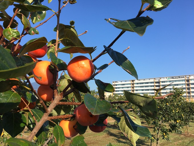 柿の季節なんですが雨ばかり