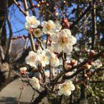 梅が咲いてる!卒業式まで残り1ヶ月