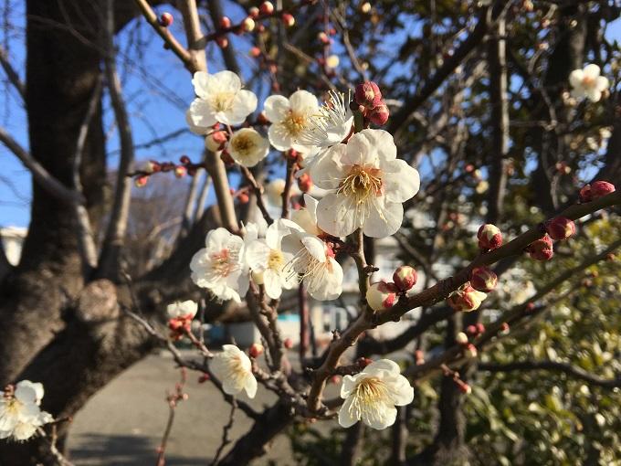 梅が咲いて卒業式まで残り1ヶ月