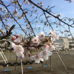 桜が満開に近づいて新たな季節に向かう。