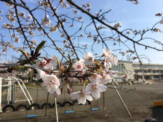 桜も満開に近づいて