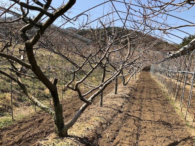佐久穂のプルーン畑