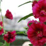 今年も「タチアオイ」咲く。