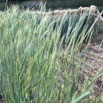 久しぶりに秦野で麦を見た話。