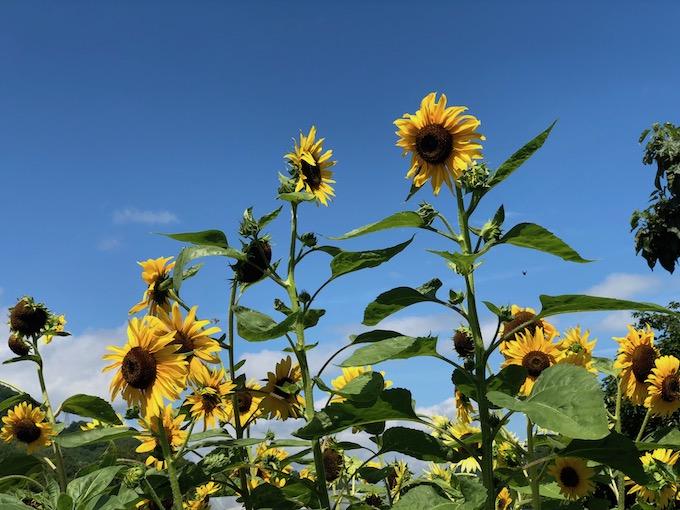 信州の青空と向日葵