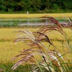 大日向に稲刈りの季節がやって来る!