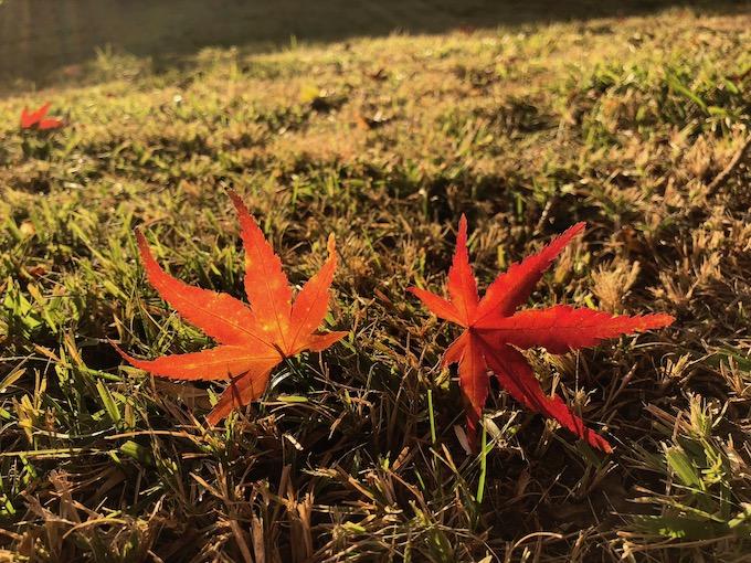 庭に落ちる紅葉