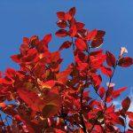 「ブルーベリーくんって紅葉するんだね。」って話