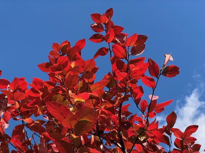 ブルーベリーって紅葉するんだ。