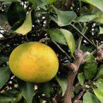 柑橘系の実がなる丹沢の麓にて