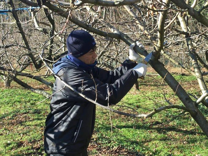 プルーン畑の剪定作業
